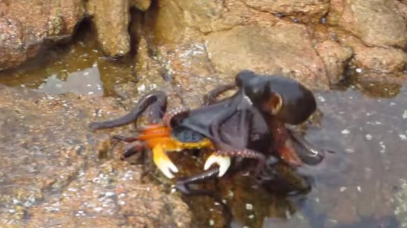 Le poulpe n'a laissé aucune chance au crustacé.