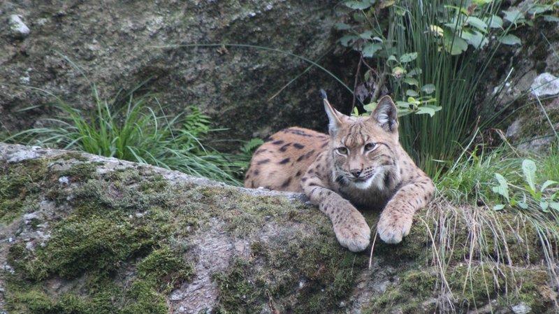 Porteurs d'un virus, les deux lynx capturés dans le Jura ont été euthanasiés